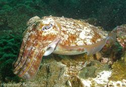 BD-070404-Similan--Sepia-latimanus.-Quoy---Gaimard.-1832-[Broadclub-cuttlefish].jpg